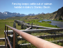 Fencing keeps cattle out of salmon habitat in Idaho's Starley Basin