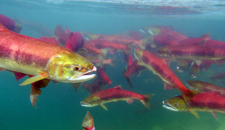 SnakeRiver sockeye salmon swimming